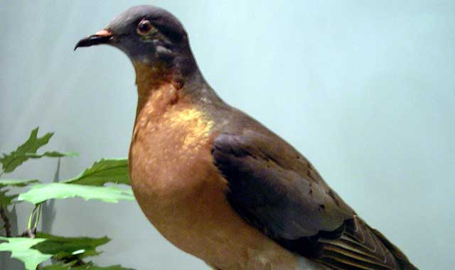 How did the once-abundant passenger pigeon go extinct? Discover the answer Sept. 9 in Rockford. (Wikimedia Commons photo)