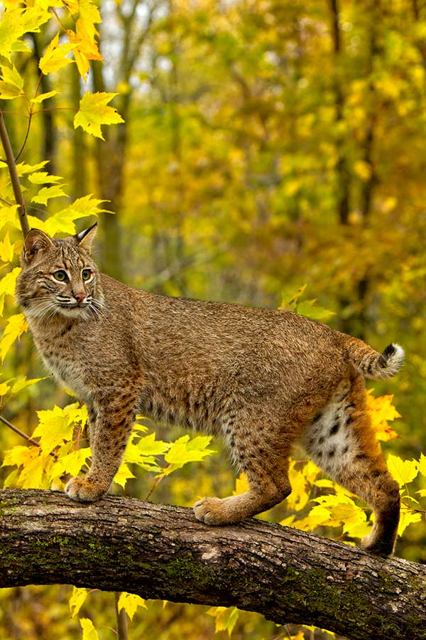 Beautiful Bobcat by David C. Olson