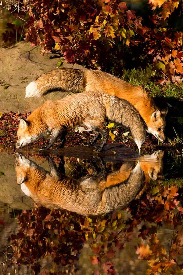 Fox Pair Reflection by David C. Olson