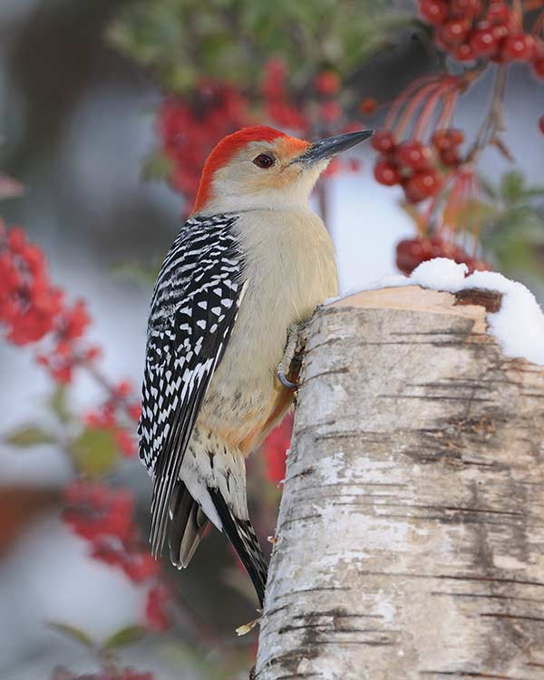 Red Belly Woodpecker - Photography by David C. Olson