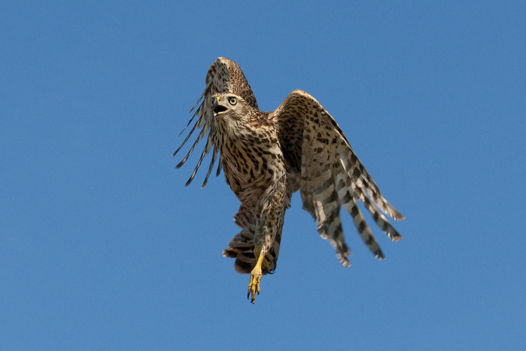 Spotting the Hawks « Northwest Quarterly   2200 x 1467 jpeg 2767kB