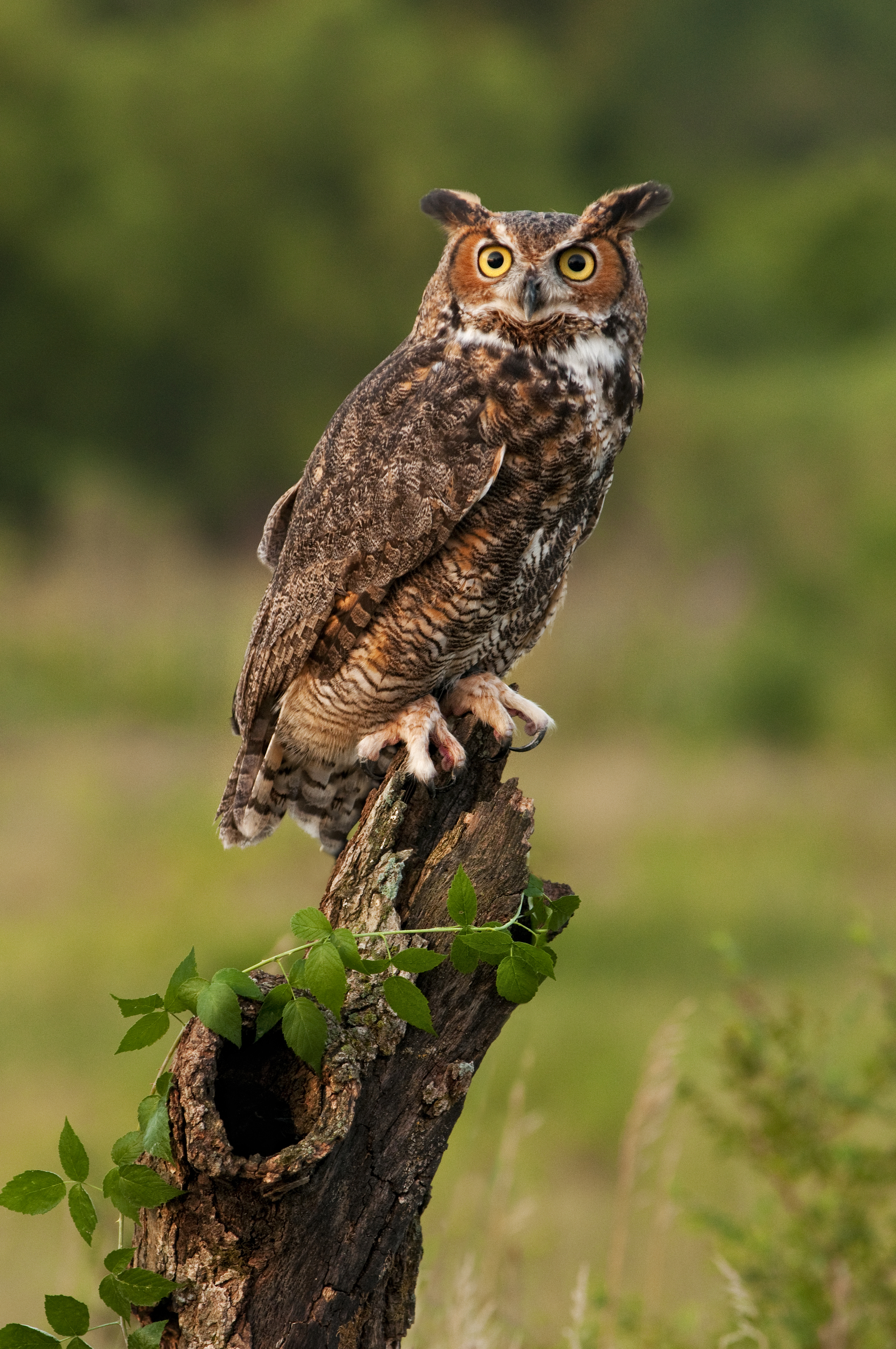 owls and great horned owl Due to their ability to kill prey larger than the owl can carry, great horned owls  great horned owl populations are stable or increasing throughout most of.
