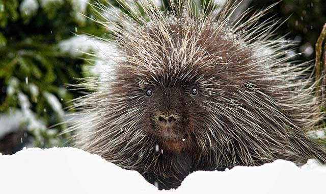 A North American porcupine. They have soft hair, but on their back, sides and tail, the hair is usually mixed with sharp quills. These quills typically lie flat until a porcupine is threatened, when they leap to attention as a persuasive deterrent.